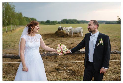 nevěsta a ženich u ohrady s krávami svatební fotograf